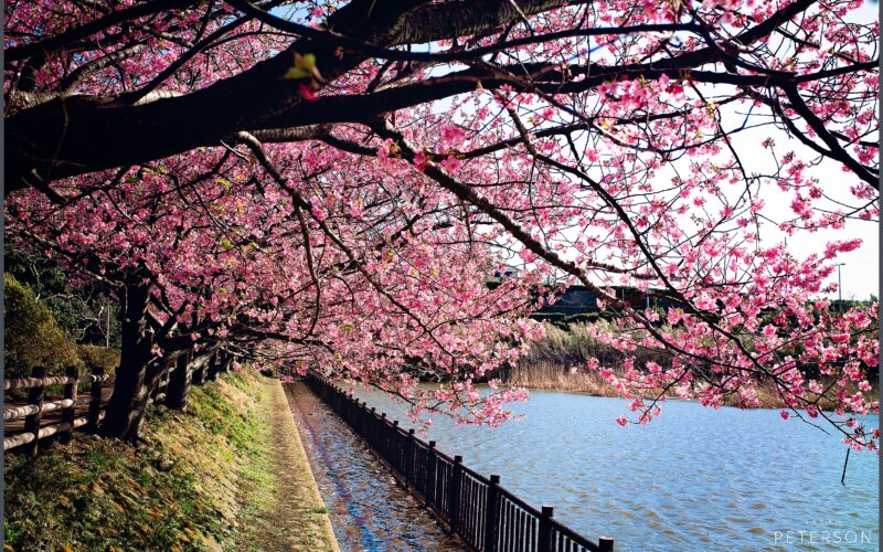 Blossoms   Spring in Japan